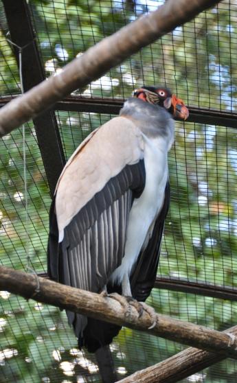 caracas_el_Parque_del_Este_04_vulture
