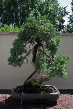 270 letnie bonsai / 270 yrs old bonsai