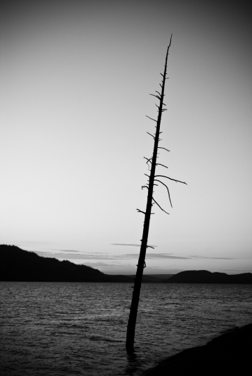 a lonely submerged tree