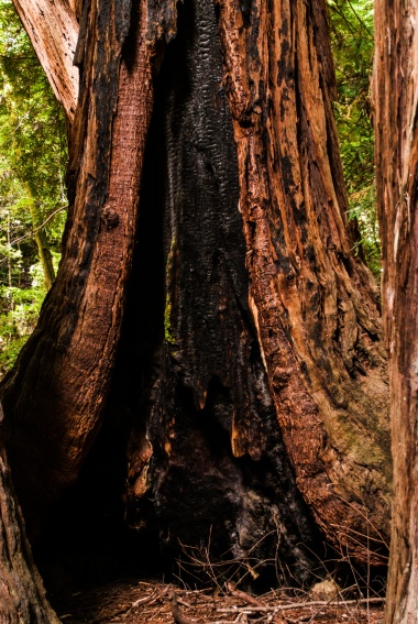 a burnt-out sequoia