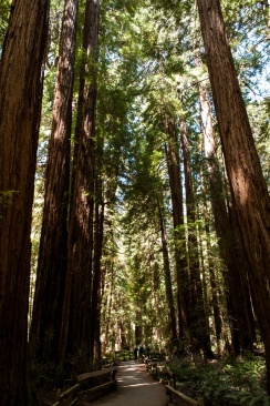 Sequoias along the path