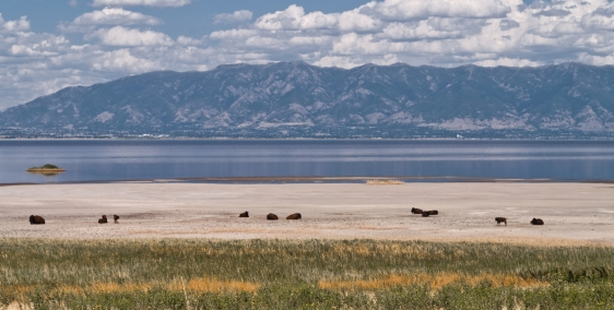 Bisons on Antelope Island