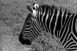 Tanzania-Ngorogoro_Conservation_Area-030-DSC_6014
