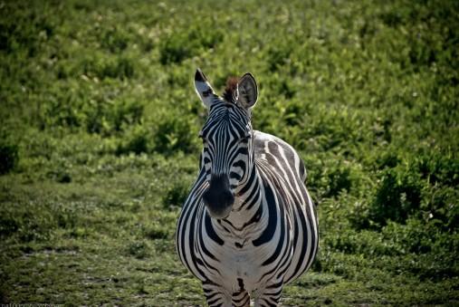 Tanzania-Ngorogoro_Conservation_Area-031-DSC_6019
