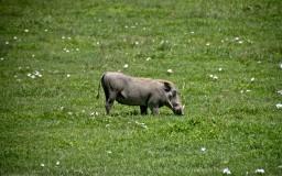 warthog - guziec