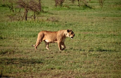 Tanzania-Serengeti_National_Park-126-DSC_5307