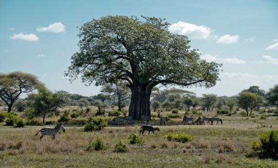 Tanzania-Tarangire_National_Park-046-DSC_6135