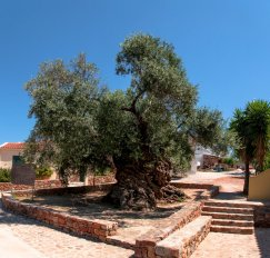 20160721-ancient-olive-tree-pano-3-images