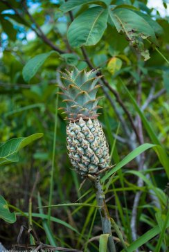Wild pineapple (not so tasty)